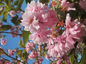 The marshmallow pink of the 'Prunus Kiku Shidare blossom.